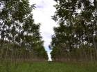 Produção de floresta plantada em MT tem crescimento apesar dos desafios
