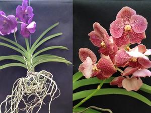 Tipos de orquideas fotos