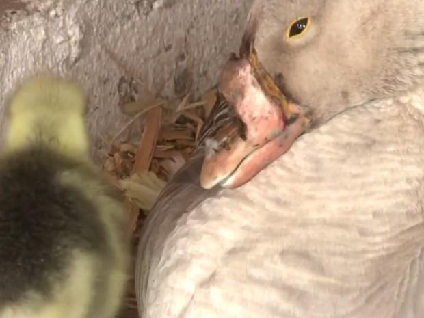 Vitória ganhou bico artifical e hoje é mãe de dois filhotes no Vale do Ribeira (Foto: Reprodução / TV Tribuna)