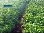 Ladrões tentam disfarçar furto de batatas plantando 'sobras' no DF