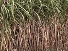 Em SP, cana sofre com a seca e usinas trabalham abaixo do esperado
