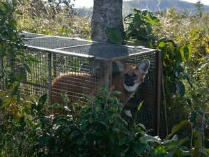 Lobos na Serra da Canastra (Foto: Rogério Cunha/Divulgação)