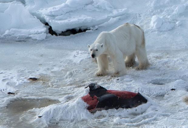 Um exemplar macho de urso polar é visto próximo de carcaça de golfinho em abril de 2014. Segundo o estudo, o urso começou a encobrir os restos do cetáceo com neve (Foto: Divulgação/Polar Research/Creative Commons)