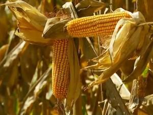 Seca causa prejuízo na safra de milho em Casa Branca, SP (Foto: Reprodução/EPTV)