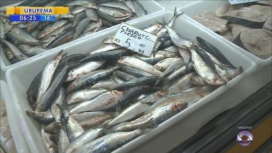 Safra da sardinha começa em SC com a expectativa de 80 mil toneladas