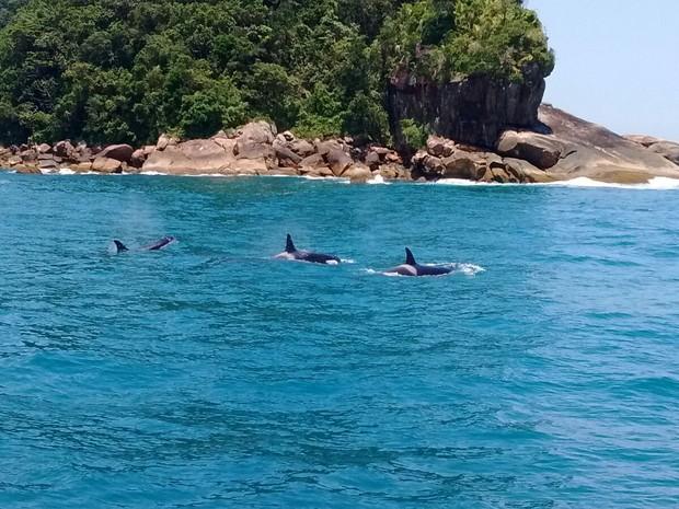 Família de orcas é avistada no litoral norte de São Paulo (Foto: Divulgação/Instituto Argonauta)