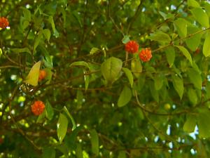 Pitangas estão entre as frutas desta época do ano (Foto: Reprodução EPTV)