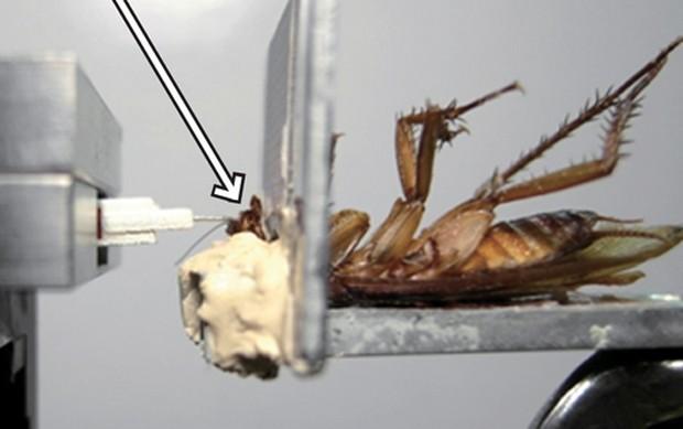 Para fazer o experimento, barata foi fixada em equipamento para medir força de sua mandíbula  (Foto: PLOS ONE/Divulgação)