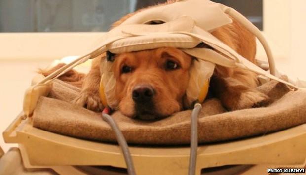 Sons carregados de emoções, como risadas e choro, também geraram a mesma reação no cérebro dos cães e de pessoas (Foto: Eniko Kubinyi/BBC)