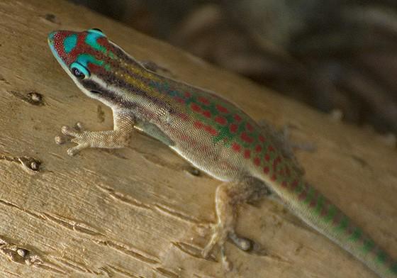 A lagartixa-diurna-ornada-de-maurício (Phelsuma ornata) também é nativa da Ilha das Garças  (Foto: © Haroldo Castro/ÉPOCA)