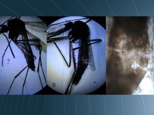 Experimentos mostram morte de larva e mosquito da dengue com substância desenvolvida pela Unesp de Rio Claro (Foto: César Fontenele/EPTV)