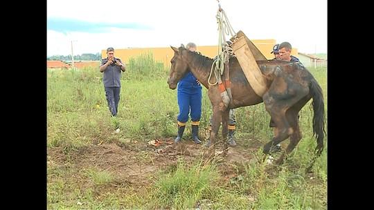 Morre égua que foi resgatada após ser abandonada em Santa Maria
