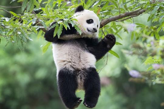O filhote de panda Bao Bao completa um ano no zoológico de Washington e é recebido por uma festa de aniversário tradicional chinesa chamada Zhuazhou (Foto: Pablo Martinez Monsivais/AP Photo)