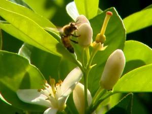 Risco de extinção das abelhas poderá afetar produção de alimentos (Foto: Wilson Aiello/EPTV)