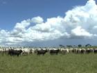 Mercado de matrizes está aquecido no Mato Grosso do Sul