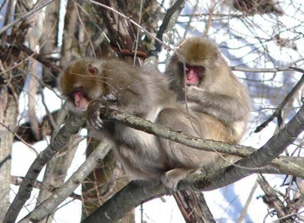 Macaco é visto na região de Fukushima (Foto: F.Konno/Divulgação)