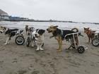 Cães paraplégicos ganham cadeira de rodas em abrigo no Peru