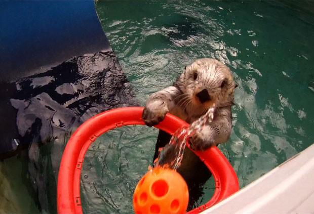 Lontra chamada 'Eddie' se tornou famosa ao jogar basquete (Foto: /Michael Durham/Oregon Zoo/Reuters)