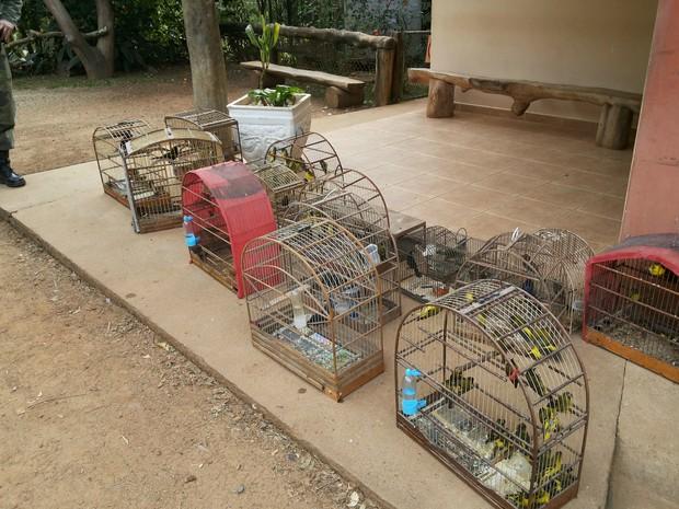 Entre as espécies apreendidas, a maioria é de pintassilgos (Foto: Divulgação/Polícia Ambiental)