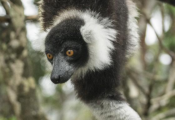 As fêmeas possuem bastante agilidade nos galhos de árvores (Foto: © Haroldo Castro/ÉPOCA)