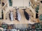 Japão vai reiniciar a caça às baleias nos próximos meses