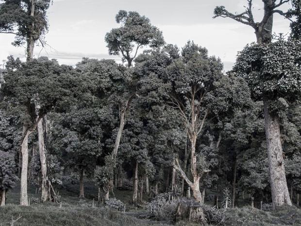 Em San Gerardo de Irazu, na Costa Rica, árvores ficaram cobertas de cinzas explidas neste domingo pelo vulcão Turrialba; erupção é a maior em 150 anos, diz instituto local (Foto: Ezequiel Ibecerra/AFP)