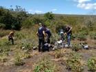 Mais de 800 pés de maconha são destruídos na zona rural de Ibicoara