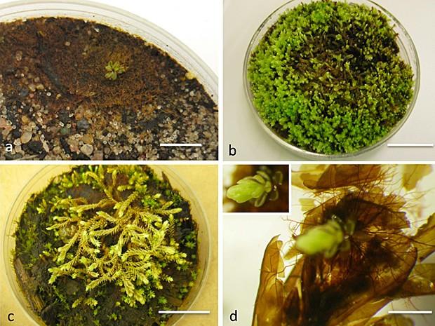 Briófitas desenvolvidas em laboratório (Foto: Image courtesy of Catherine La Farge/PNAS)