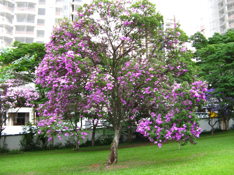 manaca-das-serras (Foto: Wikimedia Commnons)