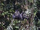 Cientistas 'redescobrem' espécie de macaco no Sudeste Asiático