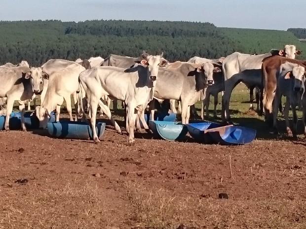 Pelo menos mil cabeças de gado estão na fazenda com pouca pastagem (Foto: Divulgação/Polícia Ambiental)