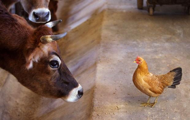 Vaca e galinha trocam encarada em fazenda nos EUA (Foto: Scott Mason/The Winchester Star/AP)