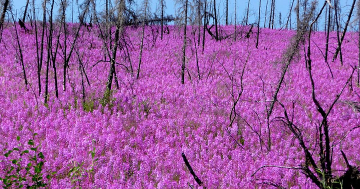 Vegetação cor-de-rosa surge após incêndio em áreas abaixo do Ártico