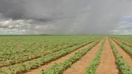 O plantio das áreas de algodão segunda safra está terminando em MT