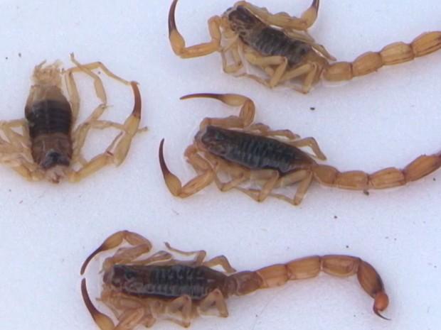 Escorpiões preocupam moradores de Vitória da Conquista (Foto: Reprodução/TV Sudoeste)