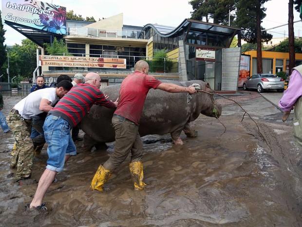 Moradores conseguem empurrar um hipopótamo ao longo de uma rua inundada em Tbilisi (Foto: Beso Gulashvili / AFP Photo)