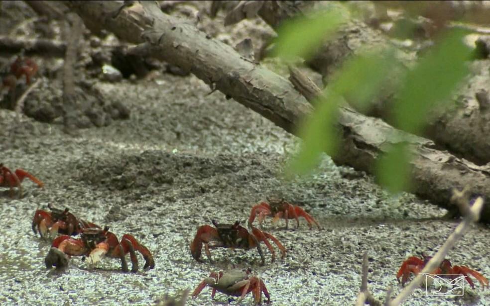 Captura de caranguejos estão proibidas na região do Delta do Paranaíba (MA) (Foto: Reprodução/TV Mirante)