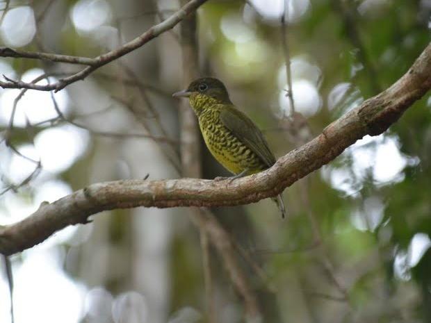 A ave, conhecida pelo nome de chibante, é uma fêmea (Foto: Marcos Aires Pereira/ Fibria)