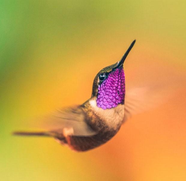 20 beija-flores (Foto: Alexis Coram / reprodução)