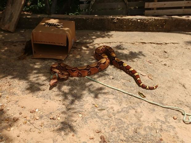 Um segunda jiboia foi encontrada dentro de uma casa na Zona Sudeste de Teresina (Foto: Batalhão Ambiental/Divulgação)
