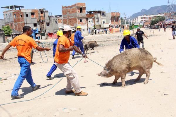 Funcionários da SEA tiveram trabalho para retirar dezenas de porcos da favela de Manguinhos, no Rio (Foto: Luiz Morier/Secretaria do Ambiente do RJ)