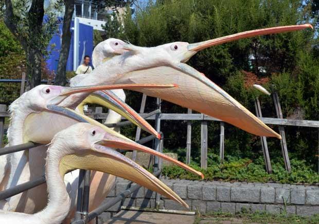 Pelicanos disputam peixe jogado por visitantes de aquário no Japão (Foto: Yoshikazu Tsuno/ AFP)