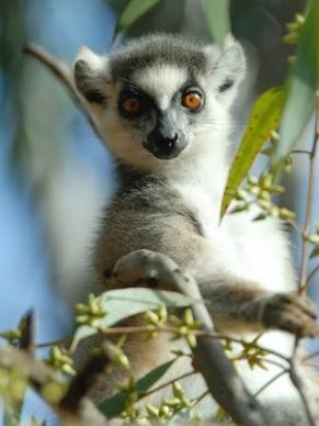 Lêmure em Madagascar (Foto: Divulgação/Russell A. Mittermeier)