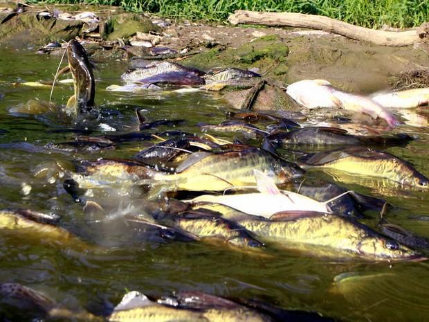 Mortandade de peixes no Rio Piracicaba (Foto: Mateus Medeiros/Arquivo pessoal)