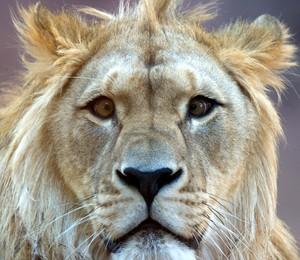 O leão Joco na sua área no zoológico em Erfurt, Alemanha. Ele nasceu ano passado com problema de paralelismo nos olhos. (Foto: AP Photo/dpa, Marc Tirl)