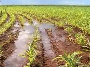 Lavouras de milho já estão sendo afetadas pelo excesso de chuvas em MS (Foto: Reprodução/TV Morena)