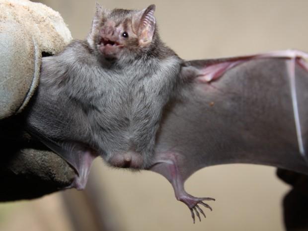 O morcego hematófago pode transmitir o vírus da raiva (Fot Lenito Abreu/Adapec)