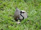 Gramado da UFMG é interditado para preservar ninho de quero-quero