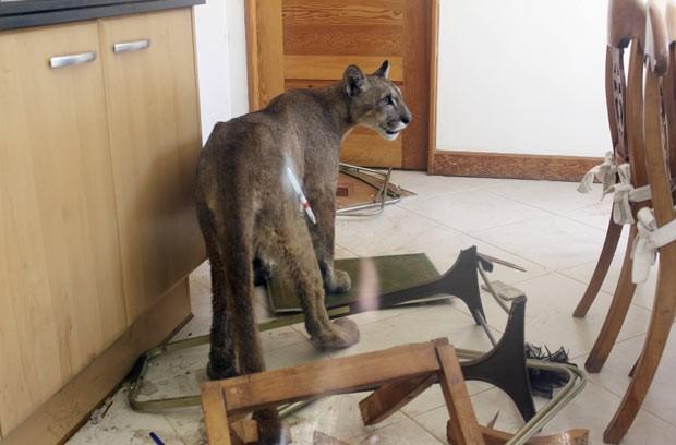 Puma invade cozinha em Santiago do Chile (Fot SAG/Reuters)