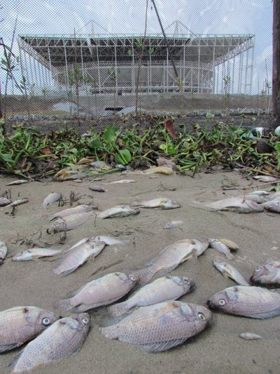 Parque Olímpico mortandade de peixes (Foto: Mario Moscatelli)